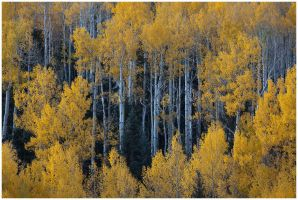 an Aspen Forest by michael-dalberti
