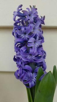 Purple Hyacinth  by Jabena