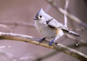 Tufted Titmouse II by bad95killer