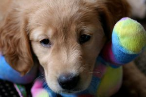 Jacy-Golden Retriever Puppy20 by sarabil1