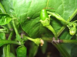 My First Jalapeno by Shoofly-Stock