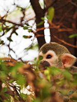 Squirrel Monkey - Watch out for the others by MotherBlessing
