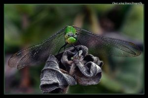 Quizzical Dragonfly by boron