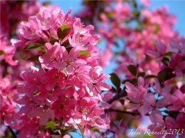 Apple Blossom 2 by jewels4665