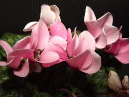 Pink Orchids by kidliquorice