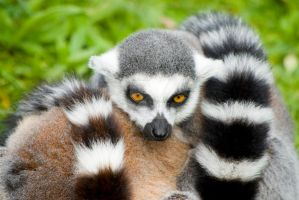 Lemur tails by photographybypixie