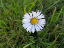 Daisy I by bibi-wish