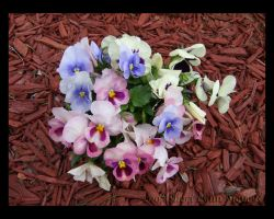 Pansy 3 by 1footonthedawn