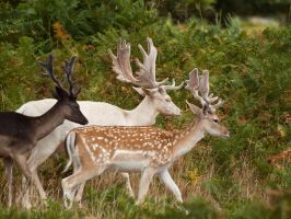 Fallow Deer 00 - August 10 by mszafran
