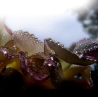 Day Wet Rose by Callu