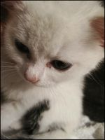 Foster Kitten Pansy II by CandaceIsVampire