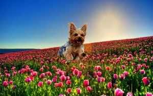 Yorkie jumping through tulips by starwitchstone
