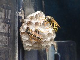 Yellow Jacket Wasps Nesting 2 by FantasyStock