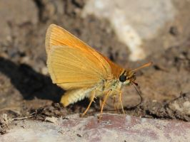 Thymelicus acteon by Selena890