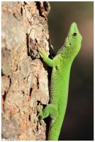 Madagascar day gecko by Nyeleti