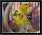 Yellow Lovebird by AlamatJacob