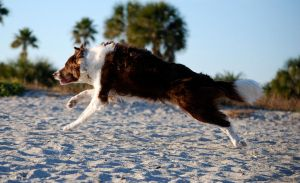 Jumping Red Border Collie Dog by CompassLogicStock