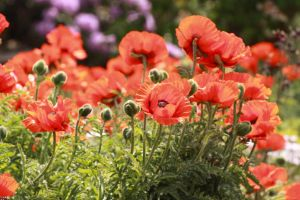 Poppies 2 by Coquin
