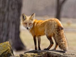 Red Fox 5 by Les-Piccolo