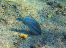 Fish - Stoplight Parrotfish by Lauren-Lee