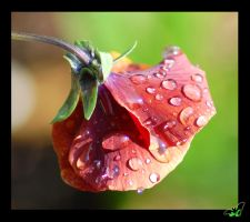 Drops on a Pansy by Wild-Soul
