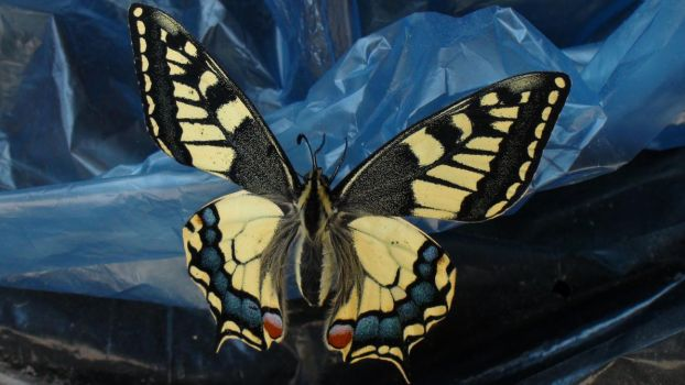 Swallowtail Butterfly by Only-truth