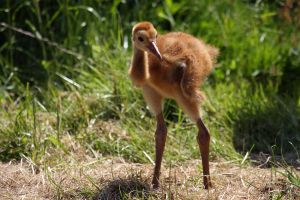 Young Sandhill Crane by cycoze