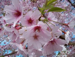 More Cherry Blossoms 4 by Applemac12