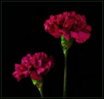 TWO CARNATIONS by THOM-B-FOTO