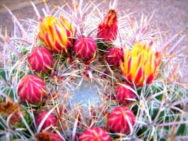 Cactus Flowers by emkimimaro45