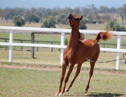 GE Arab filly chestnut tossing head up stopping fr by Chunga-Stock