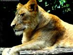 Lioness 4 by Cansounofargentina