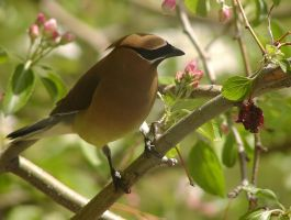 Cedar Waxwing in Apple Tree by lar3ryca