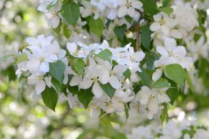 Stock: Apple-tree Blossoms 2 by Think-Outside-Of-Box