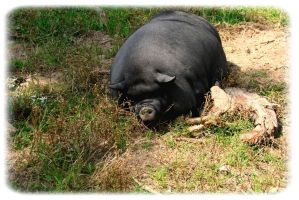 pot-bellied pig by Fun3raL