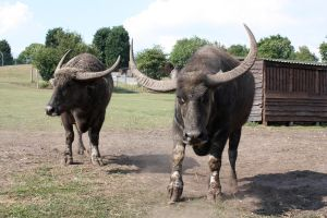 Water Buffalo Standing Ground by Emmysarus