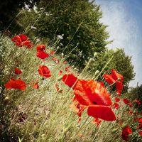 lulled near a bed of poppies by A-l-a-s-s-e-a