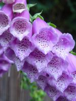 Foxgloves by AmbeeAnimation