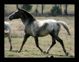 A Stallion Afterall by Photopolis
