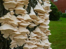 Fungi on a Tree 1 by Cecilia-Schmitt