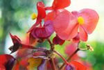Begonias by Lydia-distracted