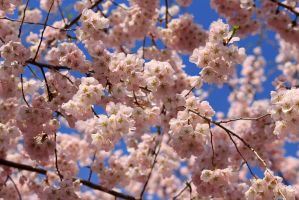 Cherry Blossoms and Bright Blue Sky by CASPER1830
