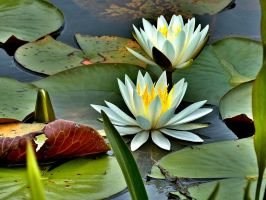 Water Lillies by talysman1959