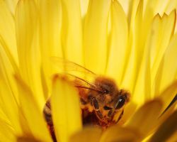 Bee and Yellow Flower by andras120