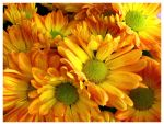 Yellow Daisies by palantir6