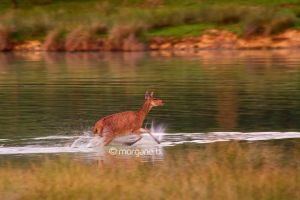 running hind by moem-photography