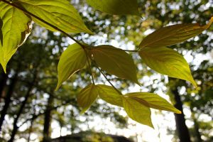 Leaves In Sunlight by like-a-seahorse