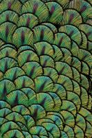 A Palette of Peacock Feathers by andras120
