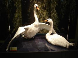 Swans by Flyg-stock