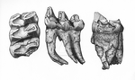 Mastodon tooth with pathology by BlackPariahDog